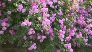 太白岩公园蔷薇盛开